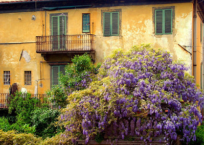 Wysteria - Yellow Wall Lucca, Italy