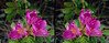 Stereo Flowers rosa rugosa pair