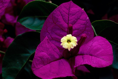 Stereo Flowers bougainvillea left