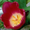 Stereo Flowers red tulip left
