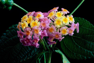 Stereo Flowers lantana right