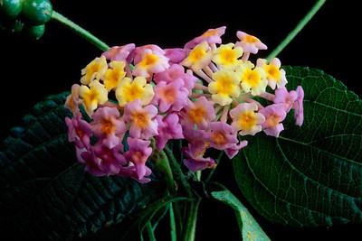Stereo Flowers lantana right