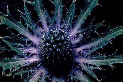Stereo Flowers purple thistle right