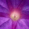 Stereo Flowers petunia left