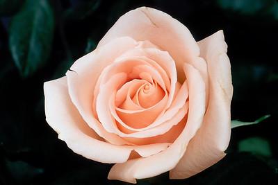 Stereo Flowers peach rose left