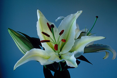 Stereo Flowers white stargazer left