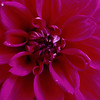 Stereo Flowers dahlia right