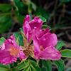 Stereo Flowers rosa rugosa right