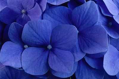 Stereo Flowers hydrangea left sharper