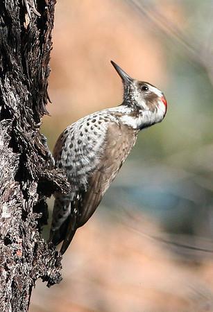 Sterling's Arizona Birds