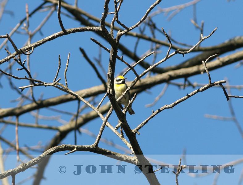 Golden-winged X Blue-winged Warbler