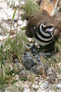 Killdeer at nest