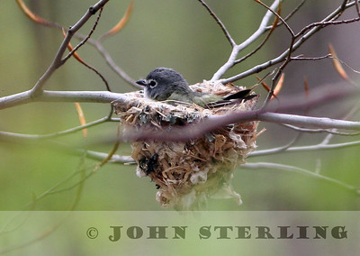 Blue-headed Vireo on nest