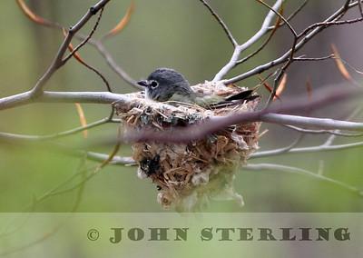 Blue-headed Vireo on nest