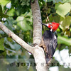 Crimson-crested Woodpecker, Panama