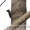 White-bellied Woodpecker, Philippines