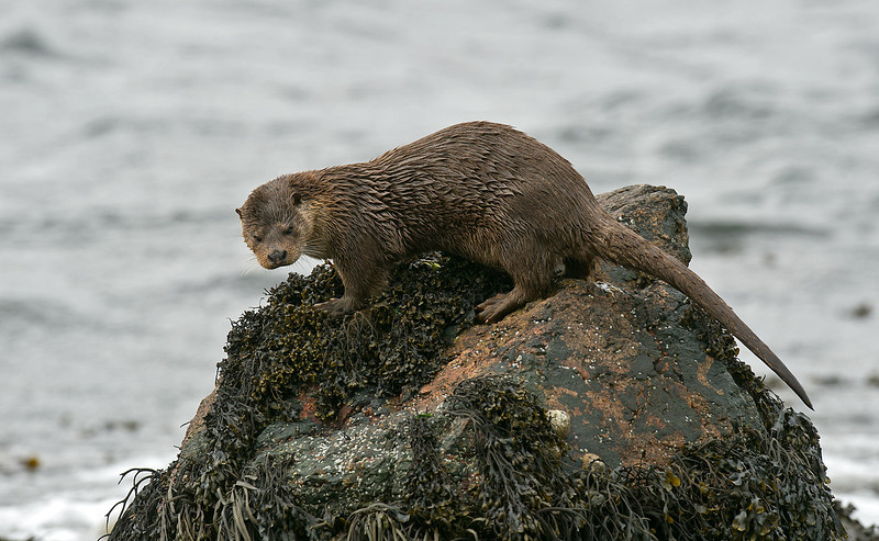 Great trip to Shetland this spring with some fantastic encounters with Otters as shown here