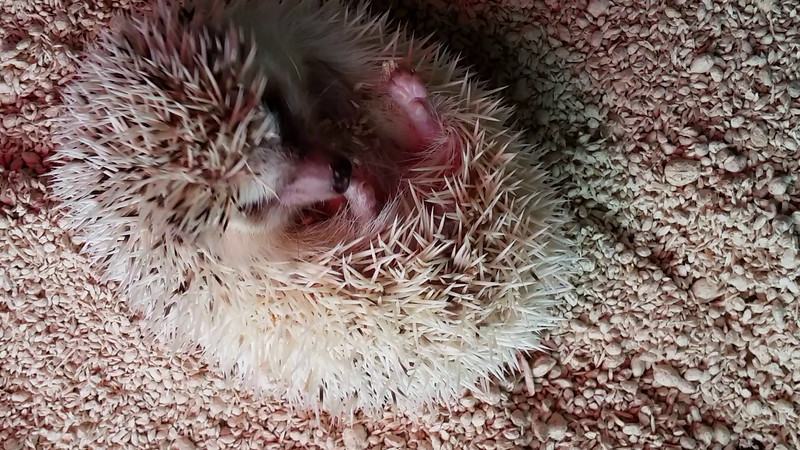 The life of Steve, the hedgehog.