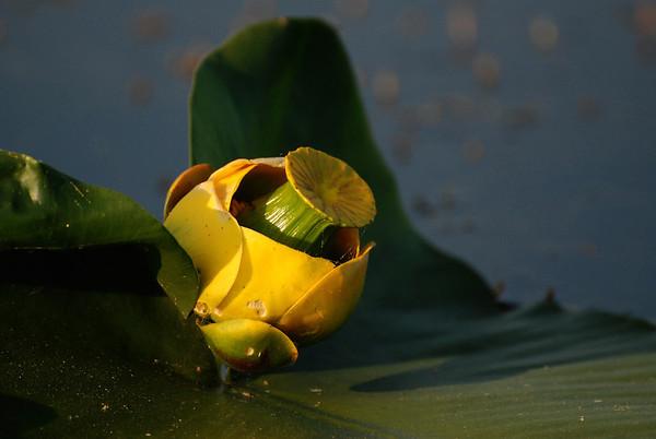 Lily in Klamath Lake