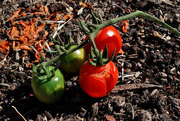 Hopland Tomatoes