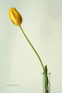 Striped Yellow Tulip