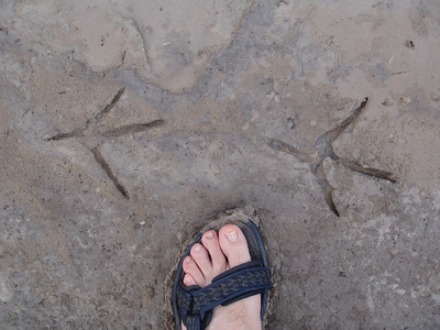 Enormous Great Blue Heron tracks. Day 1.