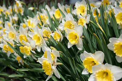 CL2_Daffodils