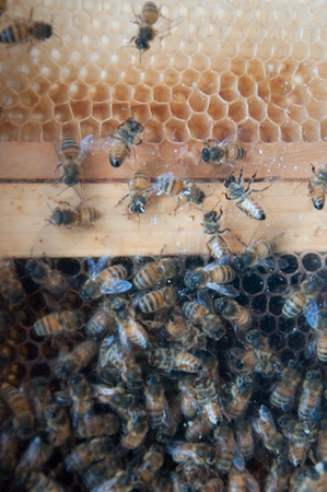GP1_Bees & Honeycomb