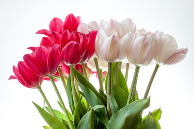 Tulips - many flowers isolated on white