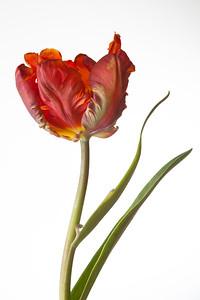 Tulip, cultivar Blumex, group Parrot