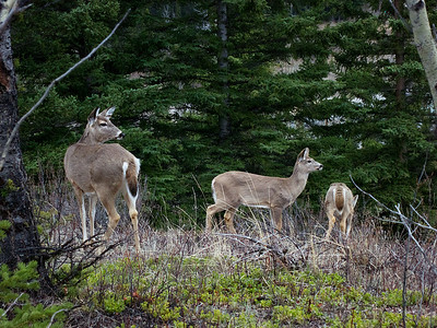 White tail deer feeding near the village rim trail in the evening, Kananaskis