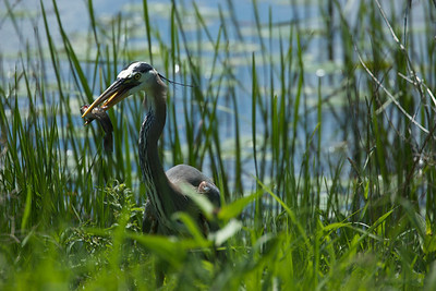 Grand Héron Bleu avec une barbotte, à l'étang Brewer (Ottawa). Great Blue Heron with a catfish, at Brewer pond (Ottawa)