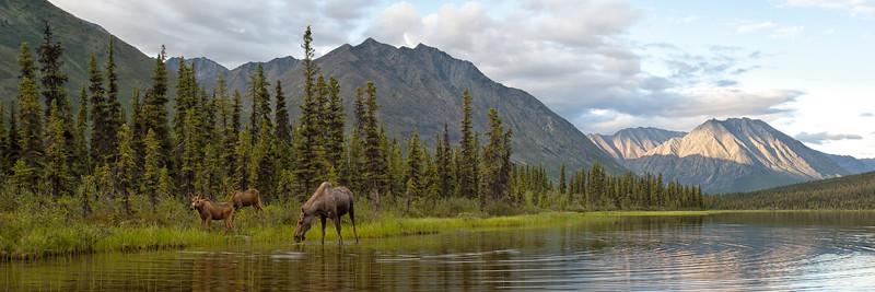 Moose Panorama