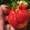 Check out this crazy strawberry!