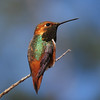 Allen's Hummingbird (Selasphorus sasin)