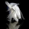 Snowy Egret Series Tony Britton 2016