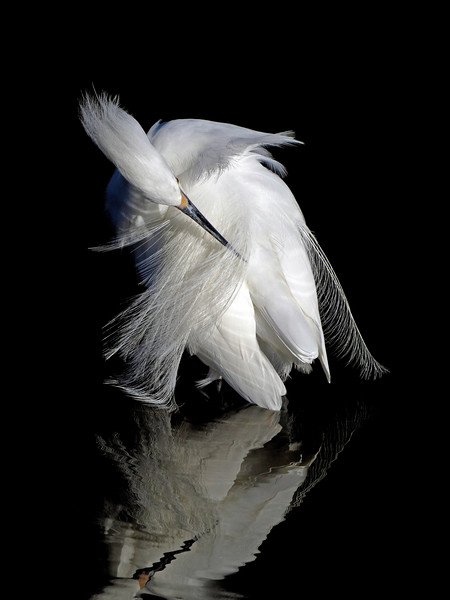 IMAGE: https://photos.smugmug.com/Other/Strictly-For-The-Birds/i-4z9KPDM/0/L/Snowy%20Egret%20Series%20Tony%20Britton%202016-L.jpg