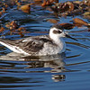 Red-necked Phalarope winter plumage (Phalaropus lobatus)