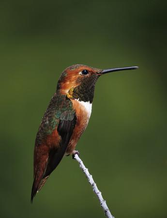 Allen's Hummingbird (Selasphorus sasin)