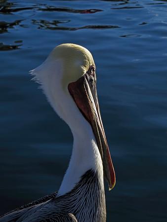 Brown Pelican At Sunset