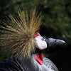 East African Crowned Crane (Balearica regulorum )