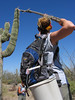 SCA Team Leader Jody Helm, collecting saguaro fruits for the SCA Team based at the Desert Botanical Garden, summer 2005.