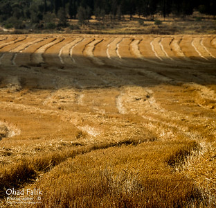 Agricaltle_in_Israel_Studio_Harel