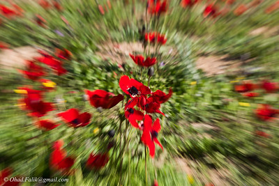 Red Winter in  Shokeda