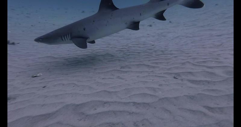 Shark-Sublue-