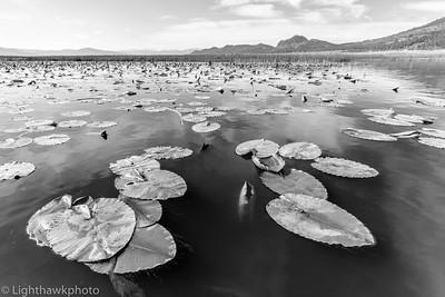 Sierra Valley water lilies
