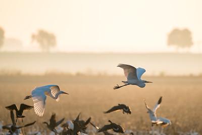 Egret dawn