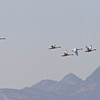 Tundra Swans over the Sutter Buttes