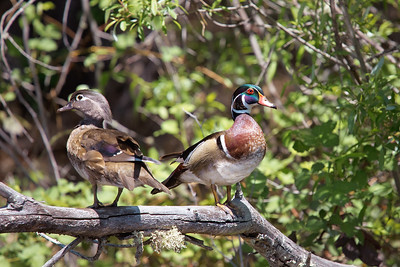Wood Duck, Scotts Flat Reservoir