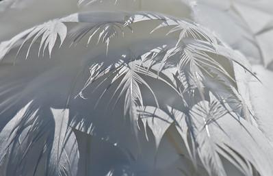 Mute Swan Feathers - Billings Spit, B.C.